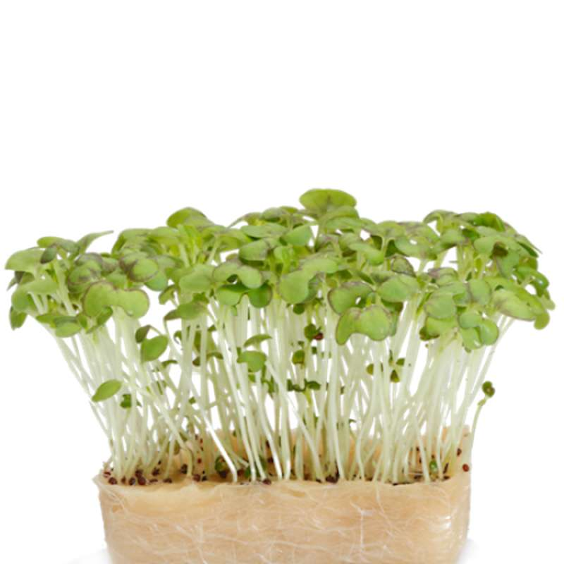 Moutarde cress, Pays-bas