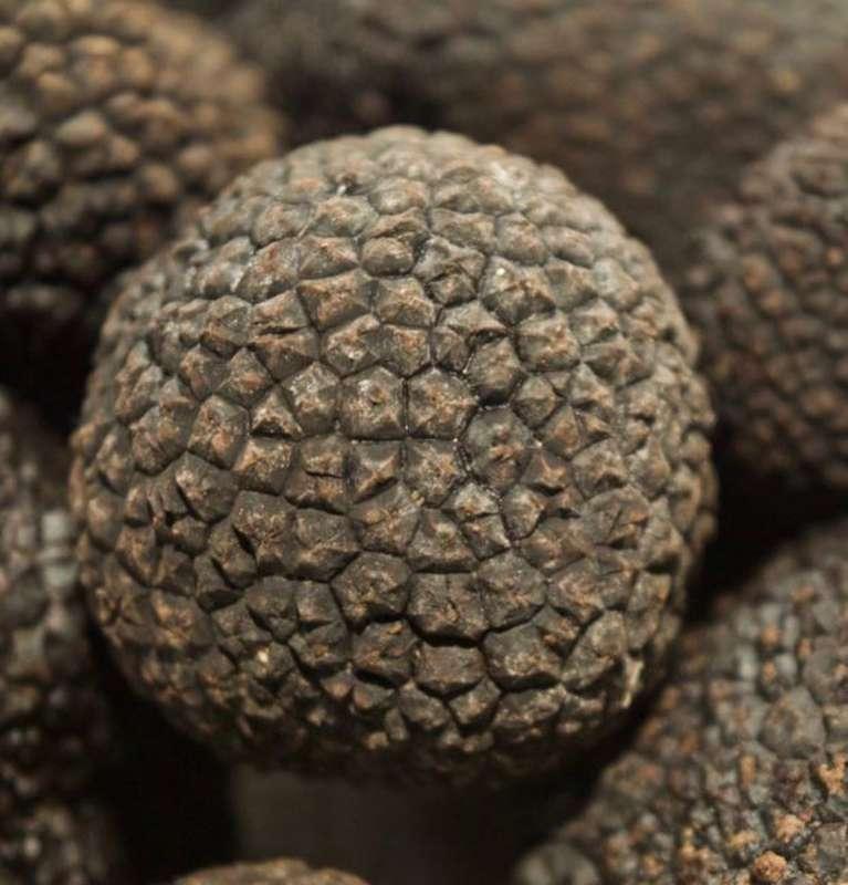 Truffe noire FRAICHE de Chinon, Ma Belle Truffe (20 à 25 g)