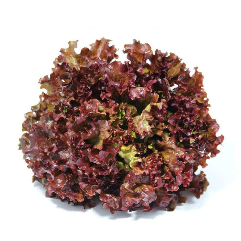 Salade batavia rouge BIO, France