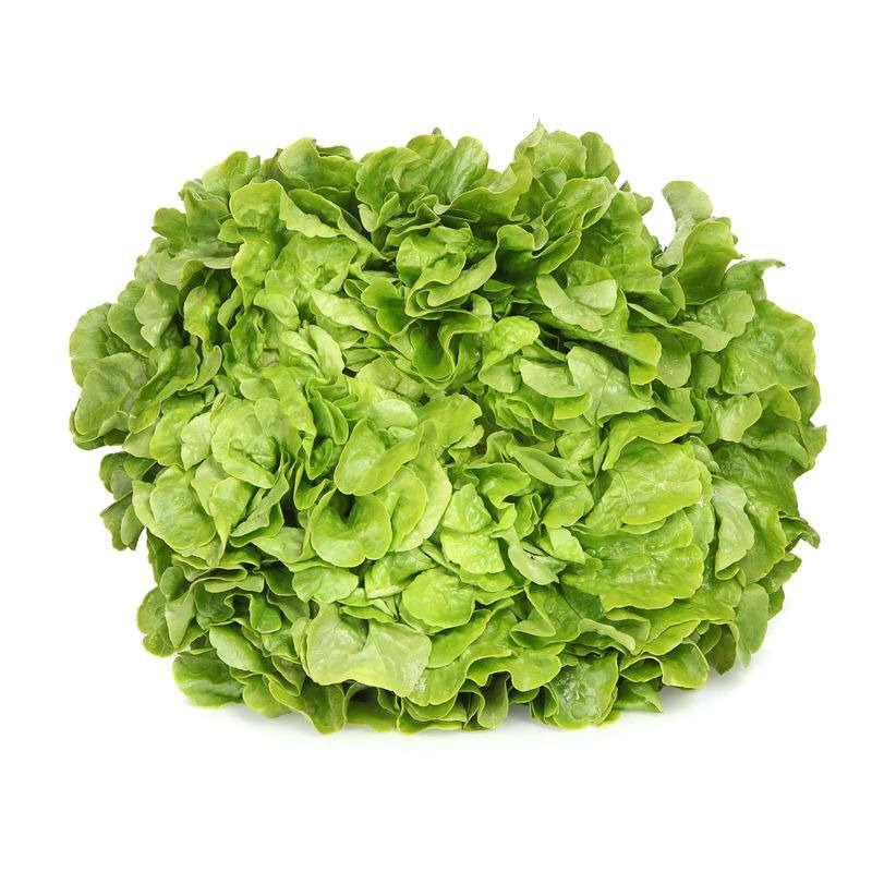 Salade Feuille de chêne verte (Krisette) locale Ile-de-France, France