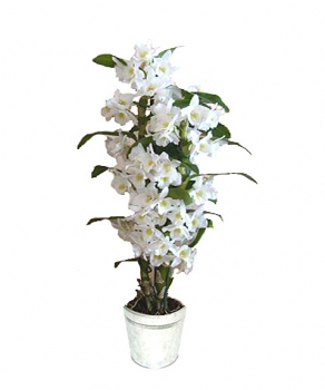 orchidee blanche dendrobium