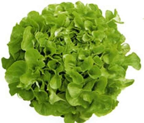 Salade Feuille de chêne verte (Krisette) locale de Chailly en Bière, France