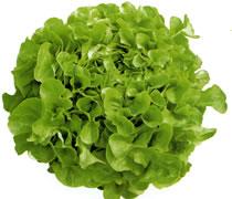 Salade feuille de chêne BIO