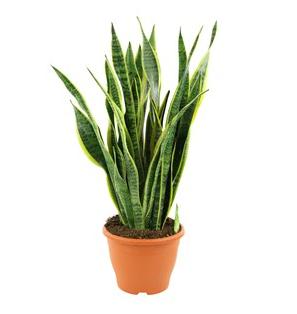 Sansevieria laurentii (80 cm)