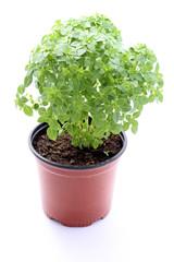 Basilic petites feuilles en pot BIO