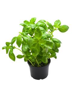 Basilic grandes feuilles en pot BIO