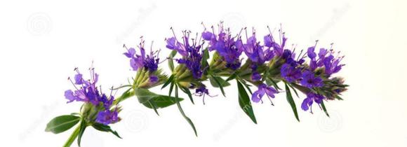 Fleur d'hysope, Le Comptoir Colonial (4 g)