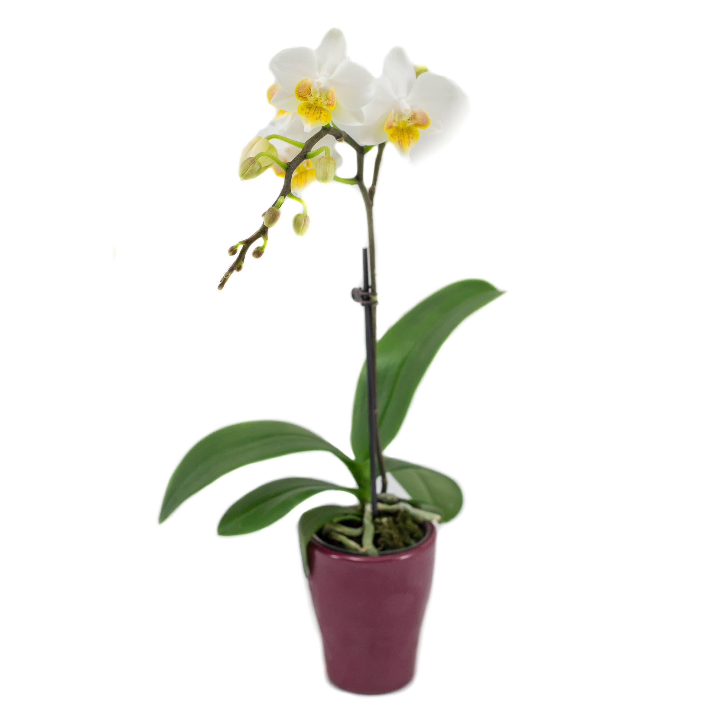 Phalaenopsis blanche (2 hampes, 25 cm)
