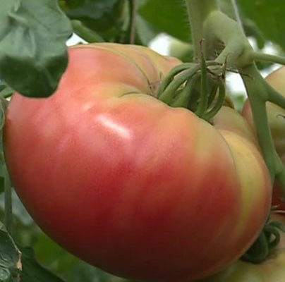 "Tomate ronde rose charnue ""Generose"" Fr. BIO"