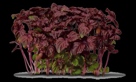 Pousses de shiso rouge Koppert Cress